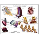 Equine Chart - Foot and Hoof Anatomy Wall Chart