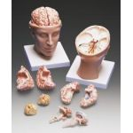 Head with Brain Anatomical Model Detailed w Nerves