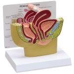 Female Pelvis Anatomical Model