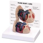 Feline Heart Lung Anatomical Model