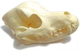 Canine Skull Natural Bone Anatomical Model with Teeth, LFA # 2519