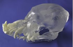 Canine Pug Skull with Teeth, Visi-Model Transparent
