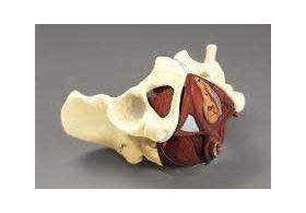 Female Pelvis w Pelvis Floor Anatomical Model