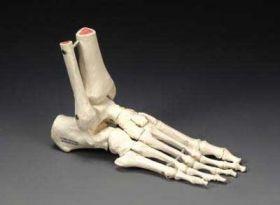 Foot Model Elastic Demo Model - Left