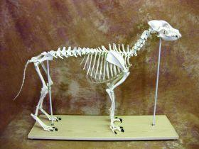 Canine Anatomical Skeleton Bosley Dog (Large)