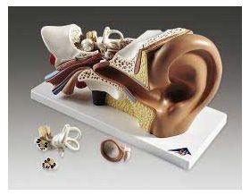 Ear Anatomical Model 4 Part Professional