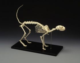 Cat Skeleton Complete Anatomical Feline