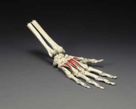 Hand Wrist Anatomical Model Painted on Elastic Cord