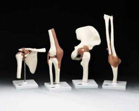 Functional Bone Joint A Series- Anatomical Model Set of 4- Knee, Hip, Shoulder, Elbow