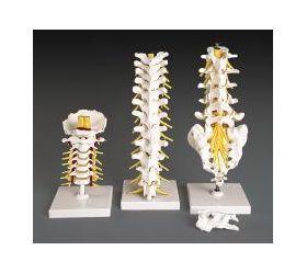 Cervical Vertebrae Flexible Anatomical Model REGIONAL #1 of 3 Set
