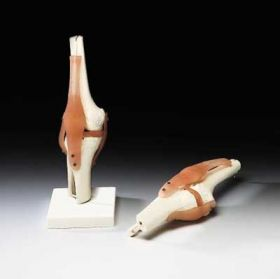 Knee Anatomical Model with Detachable Ligaments