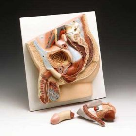 Male Pelvis Anatomical Model SPECIAL CLOSE OUT SALE
