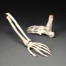Hand Anatomical Model Rigid Life Size