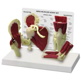 Mini-Muscled Joint Anatomical Model Set