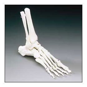 Elastic Foot Model with Tibia and Fibula