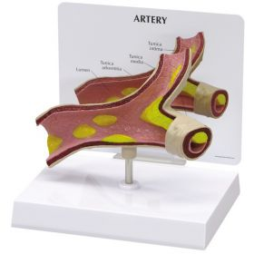 Artery Anatomical Model