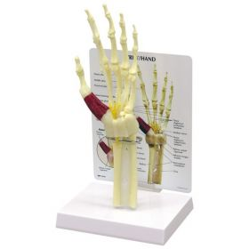 Hand Wrist Anatomical Model