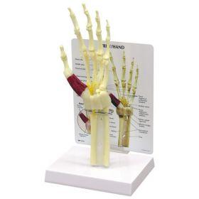 Hand Wrist Anatomical Model