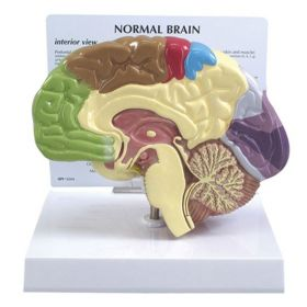 Brain 1/2 Anatomical Model