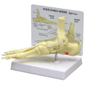 Foot Ankle Anatomical Model