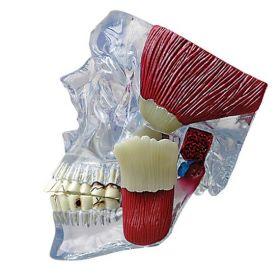 TMJ Temporomandibular Anatomical Model