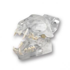 Feline Skull Dentoform Dental Model w Radiopaque Teeth LFA # 2522