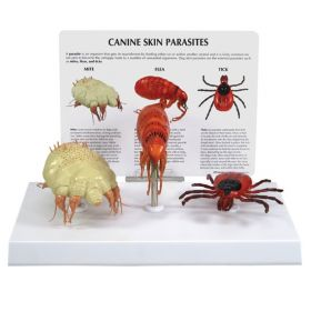 Canine Skin Parasites Anatomical Model