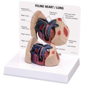 Feline Heart Lung Anatomical Model
