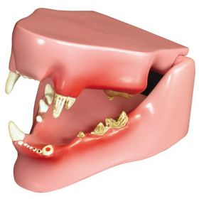 Feline Teeth Jaw Anatomical Model