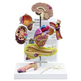 Diabetes Anatomical Model Set