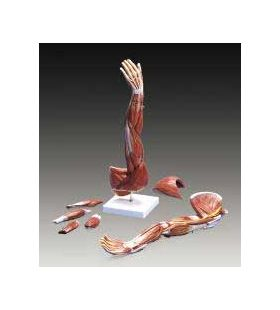 Arm   Muscles of the Arm Deluxe Anatomical Model