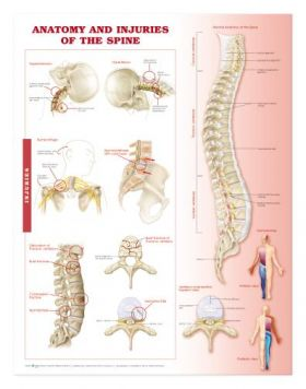 Spine Chart - Anatomy and Injuries