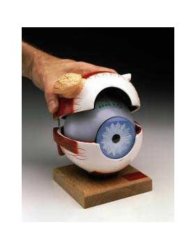 Eye Anatomical Model King Size 5-Parts