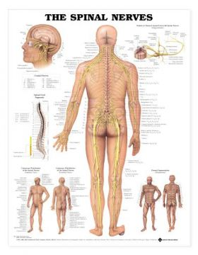 Spinal Nerves Chart - The Spinal Nerves