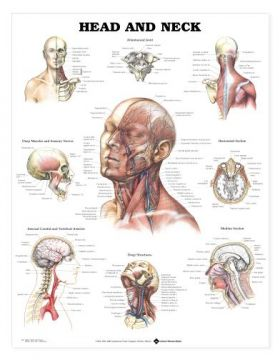Head Neck Chart - Head and Neck