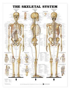 "Skeletal System Chart GIANT  42"" x 62"""