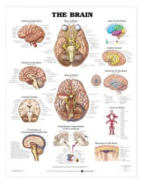 Brain Chart - Brain Nerves and Vessels