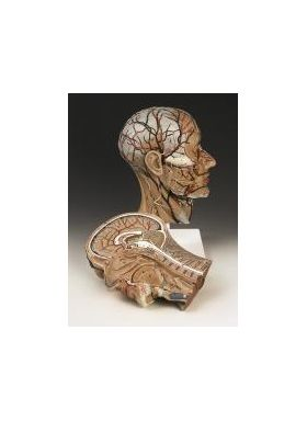 Head Anatomical Model Half Sections