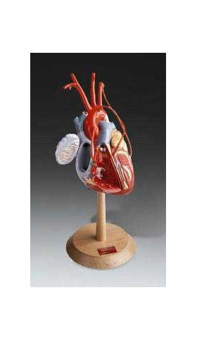 Heart Anatomy Model w/wo Coronary Bypasses PRO 2X Life Size