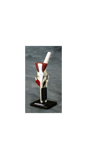 Knee Articulated Joint Anatomical Model Deluxe Professional