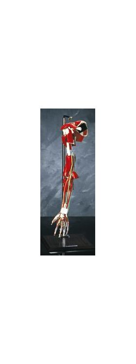 Arm Fully Articulated Anatomical Model Deluxe