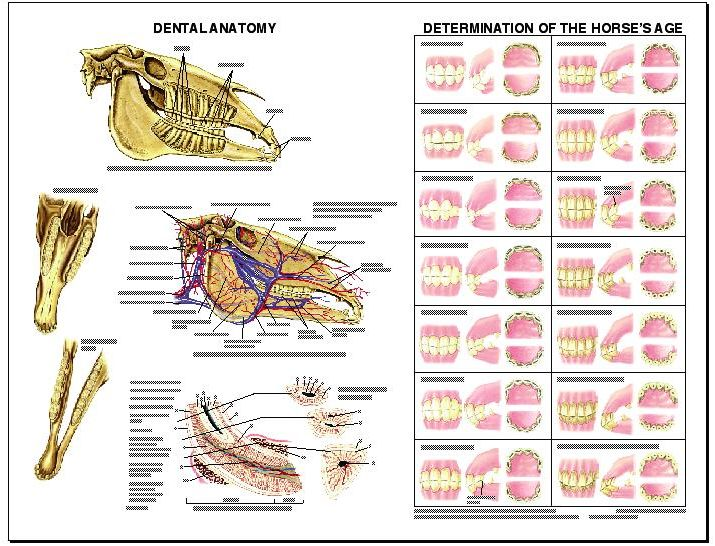 Lfa 2538 Equine Dental Anatomy Wall Chart